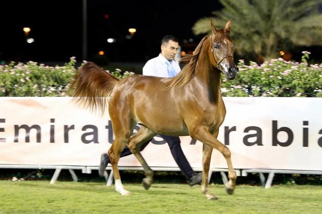 صور مقتطفات اليوم الختامي من بطولة ابوظبي الوطنية ٢٠١٦ للخيول العربية
