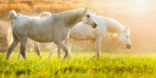 إعشق وانتج من الخيول العربية ماتراه الأفضل