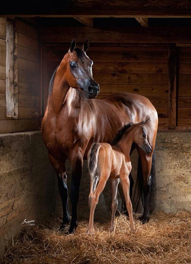 اكتشاف هرمون الحمل  في الخيول يحل لغزا عمره  50 عاما