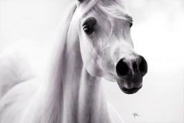 أرسان الخيول العربية في الوقت الحاضر