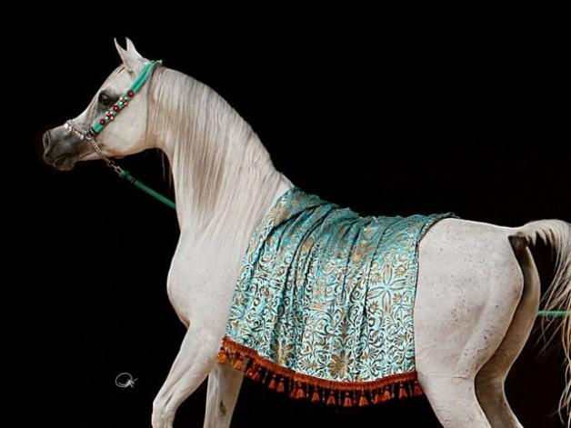 الخيول المصرية – اتجاهات العوائل وتأثيرات الطلائق – الجزء الأول