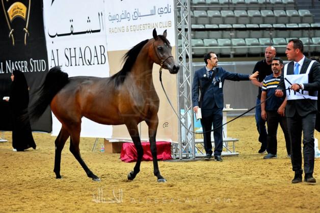 نجاح كبير لبطولة قطر المحلية الـ١٩ لجمال الخيل العربية الأصيلة