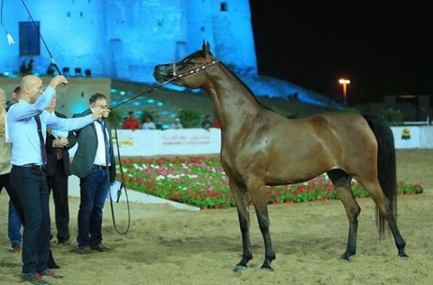 اختتام بطولة الفجيرة المحلية لجمال الخيل العربية – النتائج النهائية