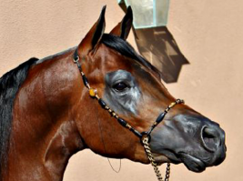 «اكسسوارات الخيول» مشغولات فنية تعكس أصالة أهل البادية