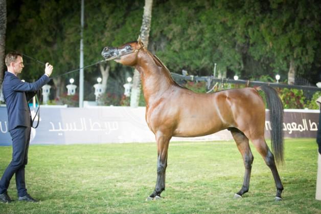 بدء التسجيل ببطولة ابوظبي الدولية ٢٠١٧ لجمال الخيول العربية – وسيغلق خلال ٣ ايام