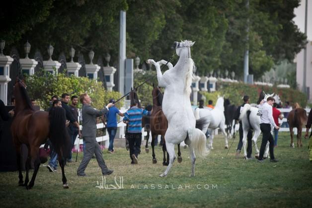 مقتطفات صور لليوم الختامي من بطولة ابوظبي الدولية ٢٠١٧ لجمال الخيول العربية