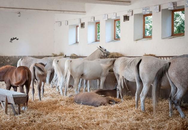 دراسة حول تغذية الأفراس والأمهار تستحدث مجالا جديدا في انتاج الخيول