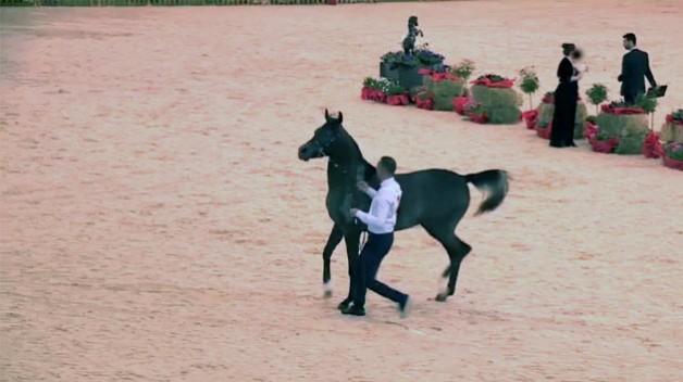 بالفيديو.. الخيول العربية الأصيلة تختال بجمالها في كوردستان