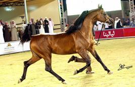كتيرا أجمل الخيول المسنة ومانكيند بطل الفحول