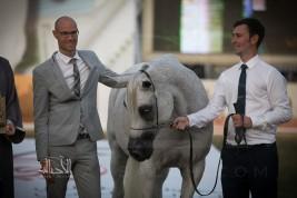 (بستوريا) و (فخر الزبير) يحلقان عاليا في (أبوظبي الدولية 2018) لجمال الخيل العربية
