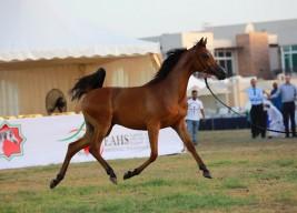 منافسات مثيرة في افتتاح البطولة الوطنية  لجمعية الإمارات للخيول العربية 2018