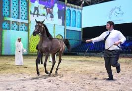 النتائج النهائية لبطولة الشيخ فيصل بن حمد لجمال الخيل العربية للإنتاج المحلي ٢٠١٨