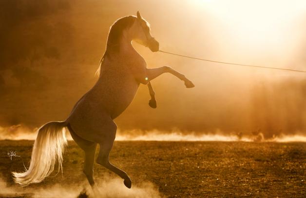 (تاريخ الخيول العربية) بتوقيع الأميرة عالية بنت الحسين وبيتر اوبتون