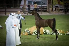 صور مقتطفة من اليوم الثاني من بطولة عجمان 2019 لجمال الخيل العربية الأصيلة