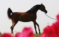 «ع.ج. سواهي» تقود خيول عمار النعيمي في كأس العالم