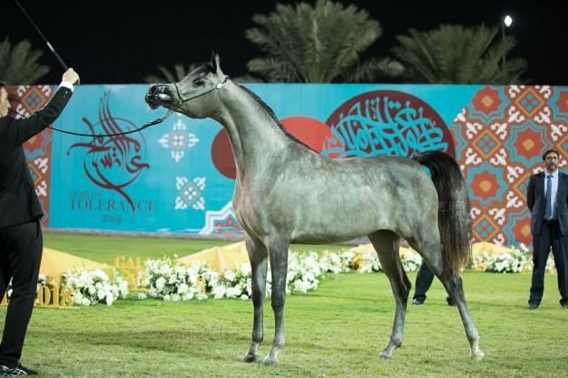 النتائج النهائية بالصور لبطولة عجمان 2019 لجمال الخيل العربية الأصيلة