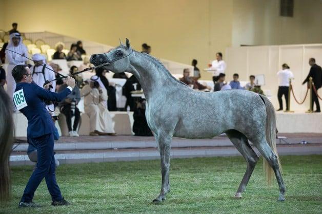 «سداد البداير»ينال برونزية الأمهار في بطولة عجمان ٢٠١٩ لجمال الخيول العربية