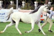 187 خيلاً تتنافس في ألقاب «الإمارات الوطنية» لجمال الخيول العربية في أبوظبي