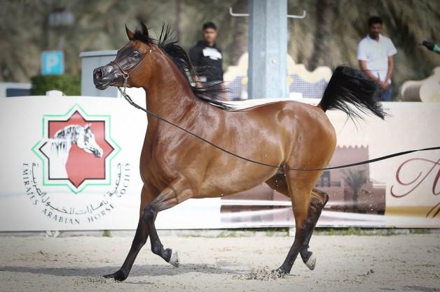 النتائج النهائية لبطولة الإمارات الوطنية لجمال الخيل العربية 2019