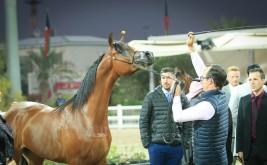 صور مقتطفة من اليوم الأول من بطولة الكويت الدولية 2019 لجمال الخيل العربية الأصيلة