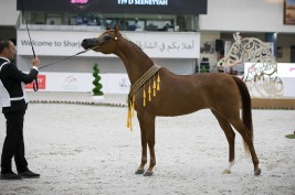 Double Gold for Al Bidayer Stud to bring down the curtain at the Sharjah International Arabian Horse Festival