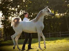 خيول «السيد» تخطف الأضواء وتحقق ذهبيتان وفضية في بطولة المملكة المتحدة