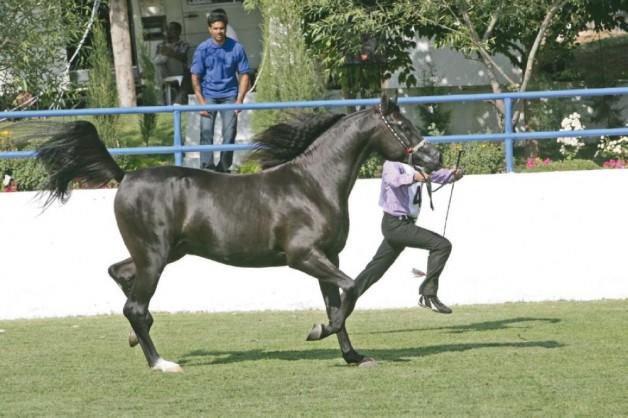 104 جواداً تتنافس في بطولة «الشرق الأوسط» للخيول العربية الأصيلة بالأردن
