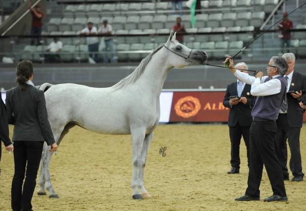 النتائج النهائية لبطولة العالم ٢٠١٩ للخيول العربية من السلالة المصرية