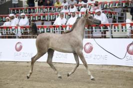 مزاد الشارقة للخيول العربية في 26 اكتوبر المقبل – قائمة الخيول المعروضة