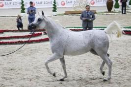 النتائج النهائية لبطولة الشارقة الدولية ٢٠١٩ للجواد العربي – السلالة المصرية