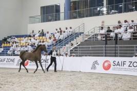 مزاد الشارقة ٢٠١٩ يحقق ١٫٥ مليون درهم وبيع 80٪ بالمائة من جملة الخيول