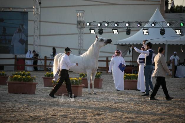 نتائج اليوم الثاني لبطولة المدينة المنورة لجمال الخيول العربية 2019