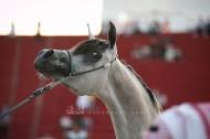 صور مقتطفة من اليوم الختامي لبطولة المدينة ٢٠١٩ لجمال الخيل العربية الأصيلة