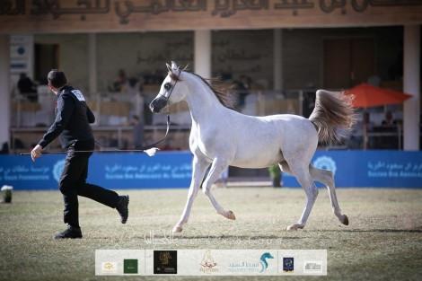 النتائج النهائية بالصور  لبطولة الأمير سلطان بن عبدالعزيز العالمية 2020 للجواد العربي