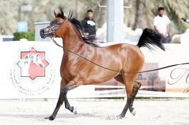 بطولة الإمارات الوطنية 2020 لجمال الخيل العربية تنطلق غدا بنادي ابوظبي للفروسية