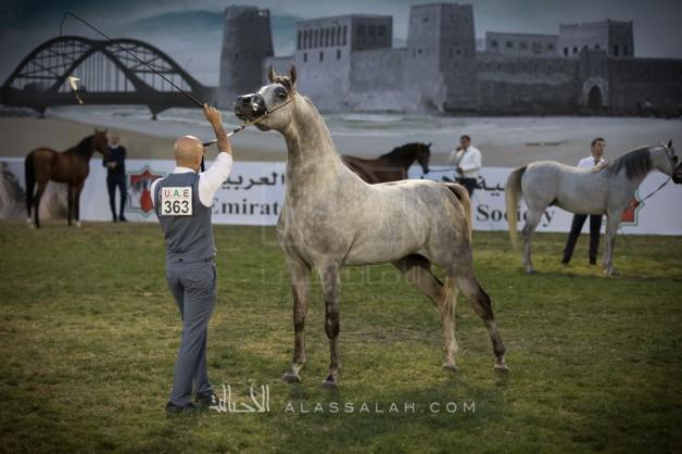 بدأ التسجيل ببطولة ابوظبي الدولية 2020 لجمال الخيول العربية – وسيغلق خلال ٣ ايام