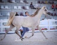 النتائج النهائية لبطولة ابوظبي الدولية 2020 لجمال الخيل العربية الأصيلة مع الصور