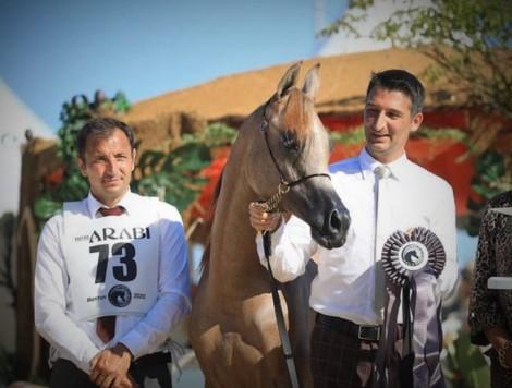 النتائج النهائية لبطولة منتون 2020 الدولية لجمال الخيل العربية الأصيلة