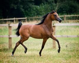 ثنائية ذهبية لخيول مربط أكمل في بطولة بروج 2020 .. وايسبرانزا تتألق في اولى مشاركاتها مع «أكمل»
