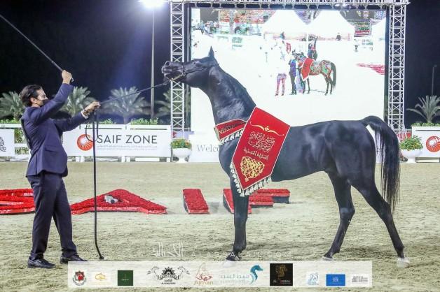 النتائج النهائية والصور لمهرجان الشارقة للجواد العربي ٢٠٢٠ – السلالة المصرية