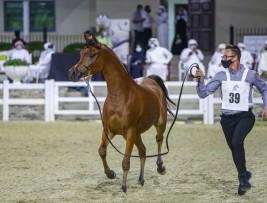 """مزاد الشارقة للخيول العربية ٢٠٢٠ يحقق ١٫٤٨ مليون درهم والمهرة """"دي ريدا"""" الأعلى سعراً"""