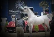 النتائج النهائية لبطولة العالم للخيول العربية من السلالة المصرية 2020
