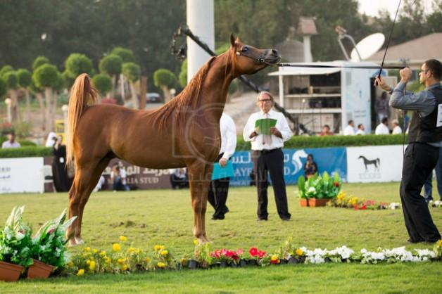 بدء التسجيل للمشاركة في بطولة مكة المكرمة للخيول العربية 2020