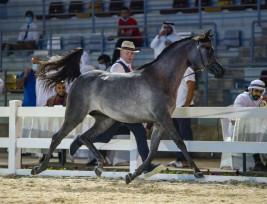 نتائج اليوم الأول لبطولة الإمارات الوطنية ٢٠٢٠ لجمال الخيول العربية بالصور