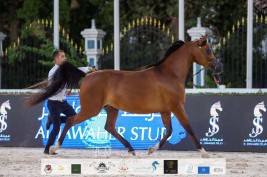 نتائج اليوم الثاني لبطولة الإمارات الوطنية٢٠٢٠ لجمال الخيول العربية بالصور