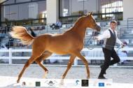 نتائج اليوم الثالث لبطولة الإمارات الوطنية 2020 لجمال الخيول العربية