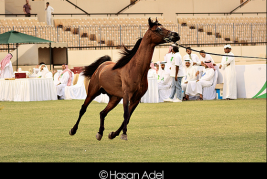 اعلان عن بطولة الإحساء الثالثة  لجمال الخيل العربية الاصيلة