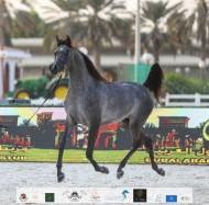 النتائج النهائية لبطولة الإمارات الوطنية 2020 لجمال الخيول العربية بالصور