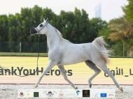 فضيتان وبرونزية لـ «دبي» في بطولة الإمارات الوطنية 2020 للخيول العربية