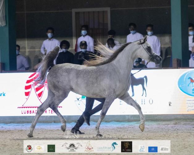 النتائج النهائية لبطولة مكة المكرمة 2020 لجمال الخيل العربية بالصور